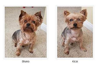 Yorkie, Yorkshire Terrier Dog for adoption in San Diego, California - Kicsi and Bruno