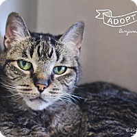 Domestic Shorthair Cat for adoption in Shoreline, Washington - Benjamin