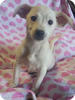 Chihuahua/Dachshund Mix Puppy for adoption in Los Angeles, California - Lizzie