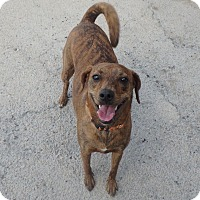 Dachshund/Terrier (Unknown Type, Small) Mix Dog for adoption in Seguin, Texas - Sienna