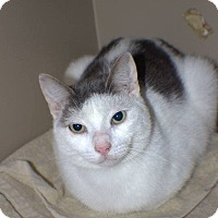 Adopt A Pet :: Pickles - Barn Cat - Broadway, NJ