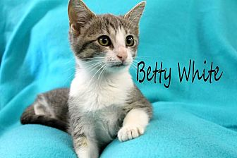 Domestic Shorthair Cat for adoption in Wichita Falls, Texas - Betty White