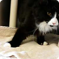 Domestic Longhair Cat for adoption in Chippewa Falls, Wisconsin - Granton