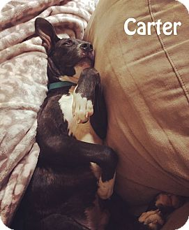 Pit Bull Terrier Mix Puppy for adoption in Indianapolis, Indiana - Carter