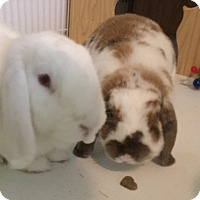 Mini Lop Mix for adoption in Moneta, Virginia - Mr. Darcy and Lizzie