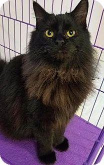 Domestic Longhair Cat for adoption in Akron, Ohio - Daisy WITH VIDEO!!!!!!! Part of a Bonded Pair!!