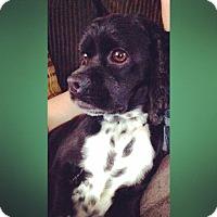 Adopt A Pet :: Bella - Kannapolis, NC