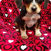 Adopt A Pet :: Goober - Plainfield, IL