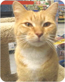 Domestic Shorthair Kitten for adoption in Mesa, Arizona - Ginger Snap
