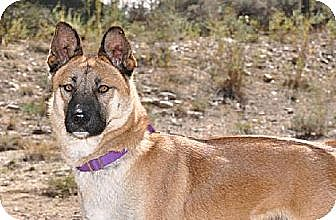 German Shepherd Dog Mix Dog for adoption in Newport Beach, California - Nevada