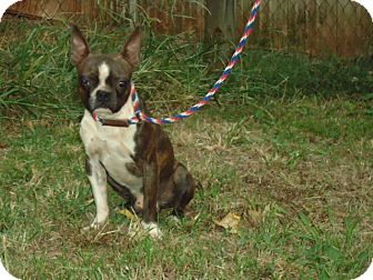 Boston Terrier Mix Dog for adoption in Plainfield, Connecticut - Austin