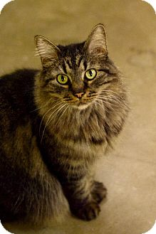 Domestic Longhair Cat for adoption in Omaha, Nebraska - Angelica