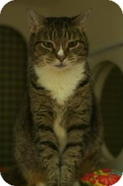 Domestic Shorthair Cat for adoption in New York, New York - Tabitha