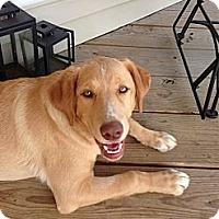 Adopt A Pet :: Blitzen - Alexandria, VA