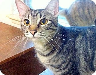 Domestic Shorthair Cat for adoption in Madisonville, Louisiana - Brownie