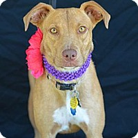 Adopt A Pet :: Bella - Plano, TX