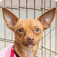 Adopt A Pet :: Snuggy - San Marcos, CA