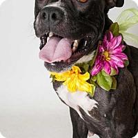 Adopt A Pet :: DARLA - Sacramento, CA