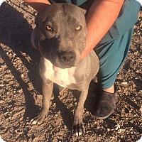 American Pit Bull Terrier Puppy for adoption in Phoenix, Arizona - Robbie