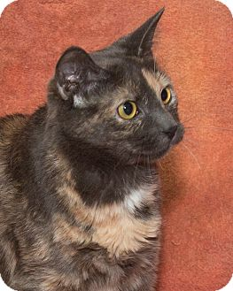 Domestic Shorthair Cat for adoption in Elmwood Park, New Jersey - Sparkles