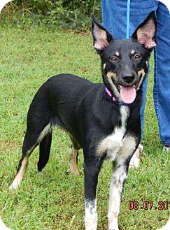 German Shepherd Dog/Shepherd (Unknown Type) Mix Dog for adoption in Williamsport, Maryland - Phoenix (35 lb) Video!