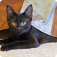 Domestic Shorthair Cat for adoption in Wichita, Kansas - Smokey