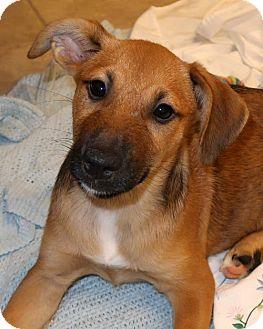 Beagle/Corgi Mix Puppy for adoption in Towson, Maryland - Perdita