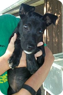 Great Dane/Labrador Retriever Mix Puppy for adoption in Norris City, Illinois - Matilda