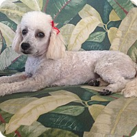 Poodle (Miniature) Puppy for adoption in San diego, California - Yevette