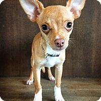 Adopt A Pet :: Boots - Fredericksburg, TX