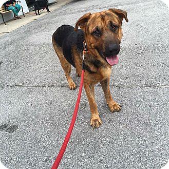 German Shepherd Dog Mix Dog for adoption in Jacksonville, North Carolina - Charlie
