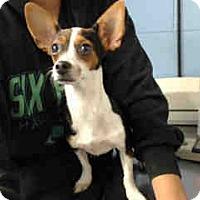 Chihuahua Puppy for adoption in San Bernardino, California - URGENT ON 10/18 San Bernardino