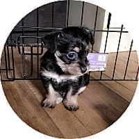 Terrier (Unknown Type, Small)/Terrier (Unknown Type, Small) Mix Puppy for adoption in South San Francisco, California - Luxx