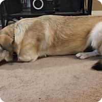 Adopt A Pet :: Sampson - Saskatoon, SK