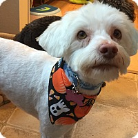 Adopt A Pet :: Benji - Pending Adoption - Gig Harbor, WA