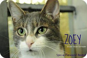 Domestic Shorthair Cat for adoption in Hamilton, Ontario - zoey