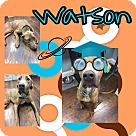 Adopt A Pet :: Watson