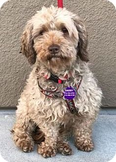 Poodle (Standard) Mix Dog for adoption in Fremont, California - Cagney D6501 (was D3106