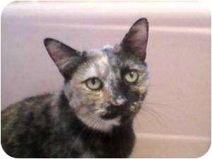 American Shorthair Cat for adoption in Cleveland, Ohio - Prego Italia