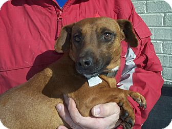 Dachshund Mix Dog for adoption in Germantown, Maryland - Red