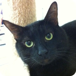 Domestic Shorthair Cat for adoption in Gilbert, Arizona - Pokey