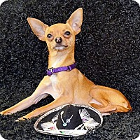 Adopt A Pet :: Gibson - Bridgeton, MO