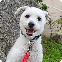 Adopt A Pet :: Elf - Los Angeles, CA