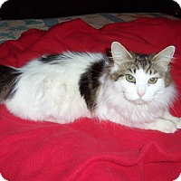 Adopt A Pet :: Izadora-DECLAWED MAINE COON - Taylor Mill, KY