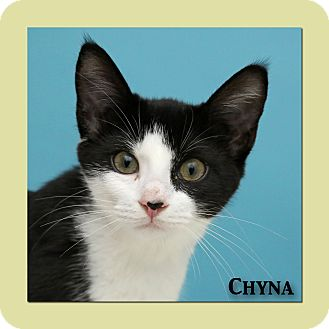 Domestic Shorthair Cat for adoption in Aiken, South Carolina - Chyna
