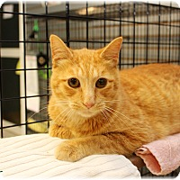 Domestic Shorthair Cat for adoption in Welland, Ontario - Oscar