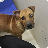 Pit Bull Terrier Mix Puppy for adoption in Odessa, Texas - A01 Jordan