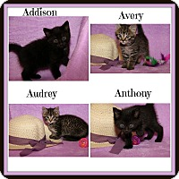 Domestic Shorthair Kitten for adoption in Marietta, Ohio - Addison Anthony Audrey Avery