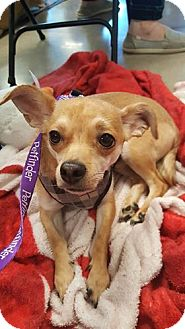 Chihuahua Mix Dog for adoption in Tucson, Arizona - Taz