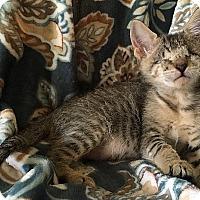 Adopt A Pet :: Diamond - Tampa, FL